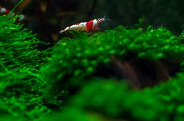 Shrimp on moss