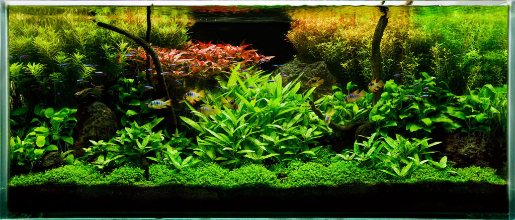 planted tank aqua plants care